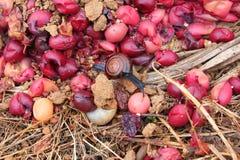 Erba e lumaca di frutti di Carunda o di Karonda fotografia stock libera da diritti