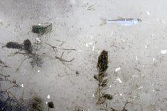 Erba e pesce nel ghiaccio del fiume Fotografia Stock Libera da Diritti