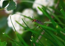 Erba e scarabeo di clic Fotografia Stock