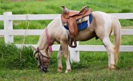 Erba eatting del cavallo Immagini Stock Libere da Diritti