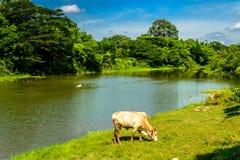 Erba fine della mucca sul fiume Fotografia Stock