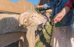 Erba foraggera del bambino della mano delle ram del Big Horn Immagine Stock Libera da Diritti