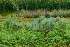Erba fresca della Rosemary Fotografie Stock