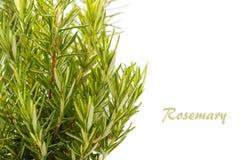 Erba fresca della Rosemary Immagine Stock Libera da Diritti