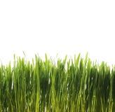Erba fresca verde Fotografia Stock