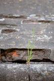 Erba germogliata nella parete di pietra Struttura Profondità del campo poco profonda Immagine Stock