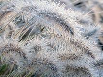 Erba ghiacciata dei alopecuroides del Pennisetum Fotografia Stock