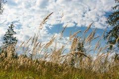 Erba gialla alta contro il cielo Fotografia Stock Libera da Diritti