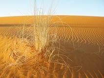 Erba gialla di morte nel deserto della sabbia Fotografia Stock Libera da Diritti