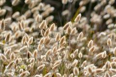 Erba gialla e bianca lanuginosa al sole nel vento Immagini Stock