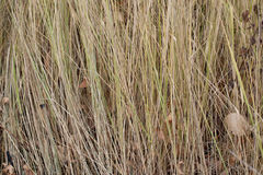 Erba gialla nella fine di autunno su Fotografia Stock Libera da Diritti