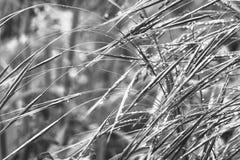 Erba in gocce di pioggia su una mattina di estate o della primavera, in bianco e nero fotografia stock