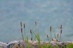Erba i gambi lungo la riva del lago Immagine Stock