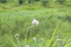 Erba il fiore Fotografia Stock Libera da Diritti