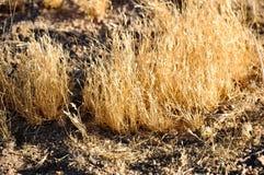 Erba illuminata dorata in semideserto Immagini Stock Libere da Diritti