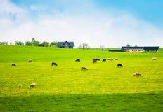 Erba l'allevamento di pecore dello svizzero e della collina, Lucerna, Meggen, Svizzera Immagini Stock