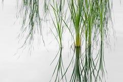 Erba in lago Fotografia Stock Libera da Diritti