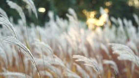 Erba lanuginosa bianca che ondeggia nel tramonto archivi video