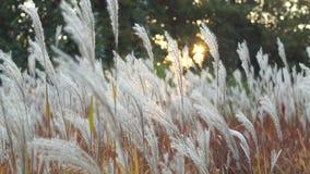 Erba lanuginosa bianca che ondeggia nel tramonto video d archivio