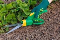 Erba le forbici usate per la guarnizione delle foglie sui Bu della fragola Fotografie Stock Libere da Diritti