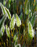 Erba le teste del seme con luce solare che splende tramite le barbe d'argento Fotografia Stock