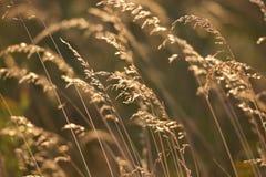 Erba marrone dorata sul tramonto Immagine Stock