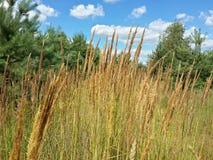 Erba marrone selvatica, pini e cielo nuvoloso blu Fotografia Stock Libera da Diritti