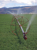 Erba medica irrigata Fotografia Stock Libera da Diritti