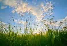 Erba nel campo sul tramonto Fotografie Stock