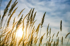 erba nel sole di sera contro il cielo Immagine Stock