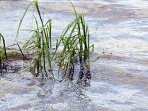 Erba nell'acqua Fotografia Stock Libera da Diritti