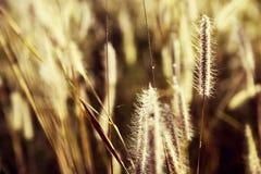 Erba nell'ambito del tramonto dorato luminoso Fotografia Stock
