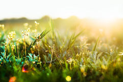 Erba nell'ambito della luce di tramonto Fotografia Stock Libera da Diritti
