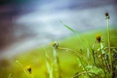 Erba nella pioggia vicino ad una pozza Fotografia Stock