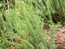 Erba organica dei rosmarini freschi Fotografia Stock
