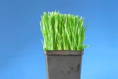 Erba organica del frumento Fotografie Stock