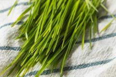 Erba organica verde cruda del grano immagine stock