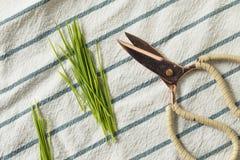 Erba organica verde cruda del grano fotografia stock