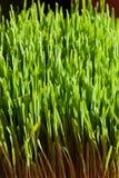 Erba organica verde del frumento Fotografia Stock Libera da Diritti