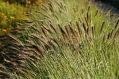 Erba ornamentale - alopecuroides del Pennisetum Fotografia Stock Libera da Diritti