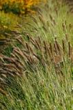 Erba ornamentale - alopecuroides del Pennisetum Fotografie Stock