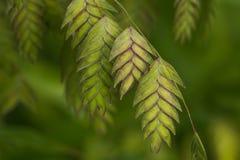Erba ornamentale nordica dell'avena del mare (latifolium di Chasmanthium) Fotografie Stock