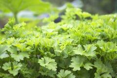 Erba, orto domestico con le giovani piante verdi del prezzemolo Alimento biologico, spezia fresca Foto del raccolto per l'affare  Fotografia Stock