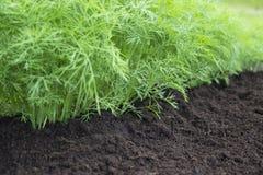 Erba, orto domestico con le giovani piante verdi dell'aneto Foto del raccolto dell'aneto per l'affare di cucina di eco Spezia fre Immagini Stock Libere da Diritti