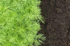 Erba, orto domestico con le giovani piante verdi dell'aneto Foto del raccolto dell'aneto per l'affare di cucina di eco Spezia fre Fotografia Stock Libera da Diritti