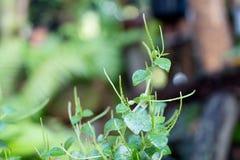 Erba per il pellucida sano di Peperomia dell'alimento, le brillante Fotografia Stock Libera da Diritti