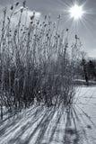 Erba retroilluminata nella neve Immagini Stock Libere da Diritti