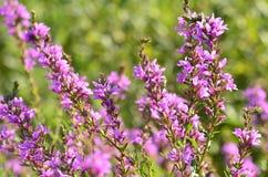 Erba rosa di fioritura della zona umida, fondo vago Fotografia Stock Libera da Diritti