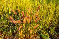 Erba rossastra di fioritura Fotografia Stock