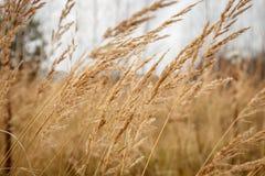 Erba rustica di autunno che oscilla dal vento Fotografia Stock Libera da Diritti